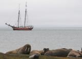 Walrussen - Walrusses