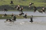 Great Skua - Grote Jager - Stercorarius skua