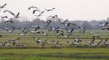 Cranes - Kraanvogels
