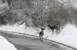 Fallow Deer - Damhert