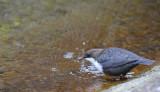 Dippers - Cinclus cinclus - Waterspreeuwen