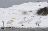 Whooper Swan - Cygnus cygnus - Wilde Zwaan