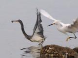 DSC_0150  Lousiana Heron and Snowy Egret.jpg