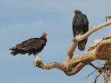 DSC_1024 turkey vulture .jpg