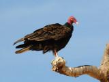 DSC_1021 turkey vulture .jpg