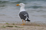 DSC_0209  Yellow-Footed Gull.jpg
