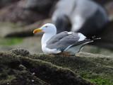 DSC_0495 Yellow-Footed Gull .jpg