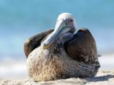 DSC_1104 brown pelican .jpg