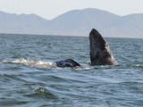 DSC_2040 grey whale  spyhopping.jpg