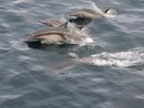 Common dolphin Sea of Cortez  .