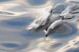 Common dolphin Sea of Cortez