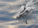 Common dolphin Sea of Cortez.