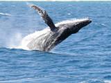 humpback  breaching  Sea of Cortez  Mexico.jpg
