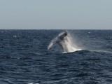 DSC_1322 humpback .jpg