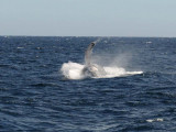 DSC_1325 humpback .jpg