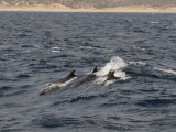 Bottle nosed dolphins   Sea of Cortez.j