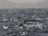 Humpback    Sea of Cortez