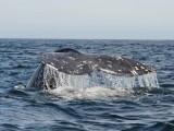 Grey whale - Magdalena Bay - Baja California