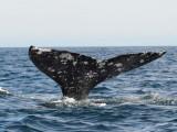 Grey whale - Magdalena Bay - Baja California .