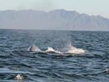 _Grey whale - Magdalena Bay - Baja California.