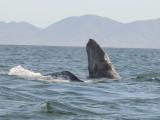 Grey whale - Magdalena Bay - Baja California.