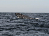_Grey whale - Magdalena Bay - Baja California