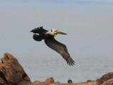 DSC_0395 brown pelican .jpg