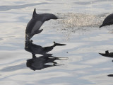 DSC_0677 Common Dolphin 72.jpg