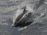 DSC_0869 Common Dolphin 72.jpg