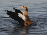 Nijlgans- Egyptian Goose