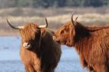 DSC_2264  Schotse Hooglander-Scottish Highland cattle 72.jpg