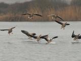 Grauwe gans - Greyleg Goose 72.jpg