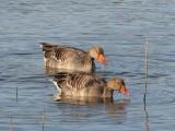 Grauwe gans- Greyleg Goose 72.jpg