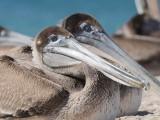 DSC_1102 Bruine pelikaan - Brown Pelican72.jpg