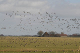 White-fronted and Brent Geese 72.jpg