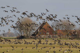 White-fronted and Brent geese.   72.jpg