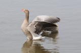 Greyleg- Goose - Grauwe gans.JPG