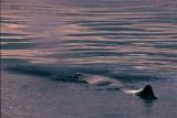 Sperm Whale at midnigh  Lofotent