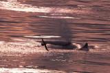 Sperm Whale  Lofoten Islands Norway.