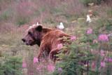 Bruine beer  - Brown bear -Zweden