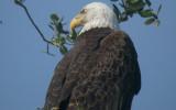 Bald Eagle - adult
