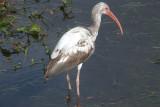 White Ibis - immature