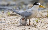 what a chick, little tern
