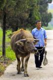 walking my buffalo
