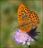 Swedish Nymphalid Butterflies