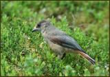 Siberian Jay, Lavskrika   (Perisoreus infaustus).jpg