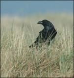 Raven, Korp   (Corvus corax).jpg
