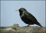 Starling, Stare  (Sturnus vulgaris).jpg