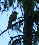 Siberian Jay, Lavskrika   (Perisoreus infaustus)..jpg