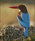 BIRDLIFE in GOA, INDIA